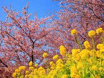 河津桜と菜の花が咲き誇る美しい景色。早春の伊豆で河津桜を満喫しませんか。