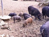 *カナンファーム(養豚場)/豚の放牧見学や餌やり体験etcできます!