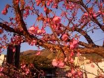 松原荘の駐車場の桜が咲き始めました。