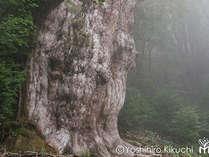 【縄文杉】屋久島に来たなら見ておきたい!樹齢7200年とも言われる屋久島の主です。