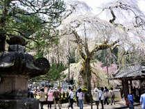 【清雲寺の桜を見に行こう】柳屋より送迎します●18:30~20:00のライトアップに感動●