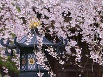 枝垂れ桜が美しい本覚寺