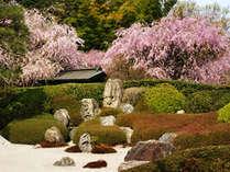 しだれ桜が優雅に咲く明月院