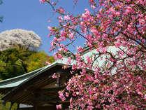 ピンクの花が青空に映える海蔵寺の海棠
