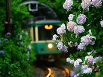 御霊神社 紫陽花