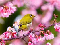 メジロもお花見!建長寺のおかめ桜