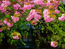 八重桜の美しい本覚寺の画像
