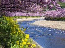 濃いピンクと菜の花のコントラストが美しい河津桜