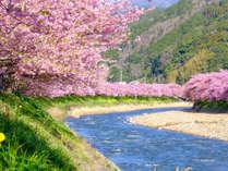 河津桜 日本一早いお花見