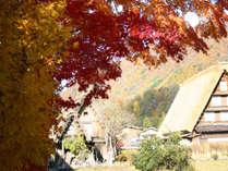 【秋季】白川郷合掌集落内にある本覚寺のモミジは毎年、真っ赤な彩を見せてくれます。