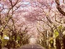 伊豆高原桜並木3000メートルの桜のトンネル(当館徒歩1分)