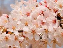 【車で20分!】桜の大斎原と熊野本宮大社で春のお花見を★