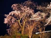 当館玄関前枝垂桜