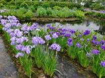 当館に隣接する瓢湖あやめ園では、6月後半にあやめ祭りを開催。