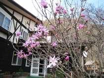 2010/5/5 我が家の「紫こぶし」