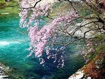 エコツアーイメージ【春】アカヤシオ咲く塩原渓谷