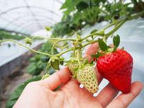 淡路島は収穫体験のできる施設がたくさん!苺狩り情報は基本情報の施設情報「宿泊施設ブログ」を見てね♪