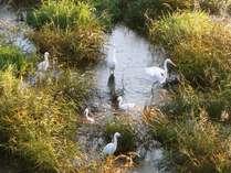 ☆冬の朝、大堰川に集まっている鷺たち。