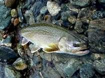魚野川の岩魚