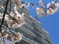~春~満開の桜♪当館のすぐ近くに桜のスポットが・・・