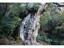 樹齢7200年とも言われる屋久島を代表する「縄文杉」