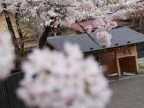 《春は桜が一面に咲き誇ります》