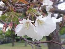 地元の豊富な食材を使った薩摩会席桜御膳プラン♪◆部屋食◆