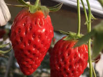 【いちご狩り】信州はフルーツの宝庫!美味しいフルーツがもぎたて食べ放題!《夕朝食付》