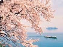 びわ湖岸を染める800本の桜のトンネル。桜の名所百選「海津大崎の桜」
