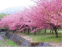 【遅咲きの桜】今が見ごろ☆メタセコイア並木を抜けてマキノ千本桜のお花見へ 近江牛すき焼会席付 2食付