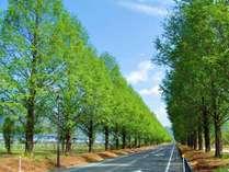 新緑のメタセコイア並木。5月~6月は一年で最も美しい並木の風景がご覧いただけます。