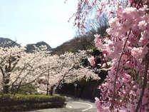 兆楽の坂道☆桜の季節