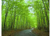 5月の新緑シーズンからいっせいに芽吹きが始まるブナの回廊