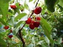 ★5月末~6月は周辺の果樹園でさくらんぼ楽しめます(イメージ画像)