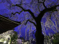樹齢250年の善福寺の枝垂れ桜。夜間はライトアップされます。有馬川の桜並木など関西屈指の桜の名所です。