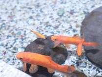 ロビーでは池の人懐っこい金魚に癒されます