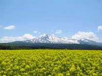 *【桃野菜の花畑】鳥海山の裾野に広がる菜の花畑。鳥海山の白と菜の花の黄色のコントラストが絶景です!