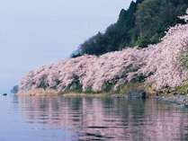 例年見ごろは4月の10日前後。海津大崎は当ホテル前桟橋からお花見船で!