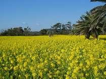 散策の出来る広大な菜の花畑には南国情緒溢れるソテツが。休暇村から車で約15分。
