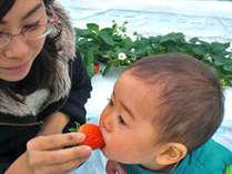 日照時間の長い渥美半島のいちごは甘みたっぷり。温室で真っ赤ないちごが食べ放題!