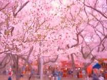 高遠城址公園「さくら祭り」1500本のコヒガンザクラが咲き誇る景色は圧巻です!