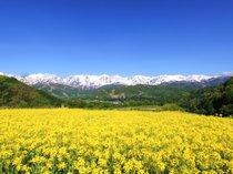 【春】残雪の北アルプスと菜の花畑