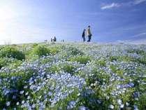 ■国営ひたち海浜公園【春】ネモフィラ4月下旬~5月中旬