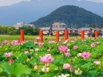 【藤原宮跡】夏には11種類の蓮をお楽しみいただけます。(※写真はイメージです。)