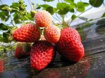 【いちご狩り体験】お子様半額!あま~いイチゴが食べ放題。加賀フルーツランドへはお車で20分!