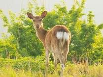 エルブルズでは、野生の鹿と逢えます。優しい瞳に癒されてください。