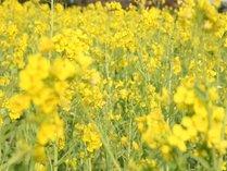 【菜な畑ロード2016】 早春を探しに花旅へ! 美味しい海鮮料理に舌鼓♪ 春の房総お花摘みプラン