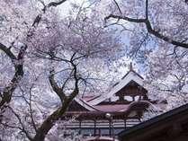 当館から徒歩15分【高遠城址公園】約1500本の桜がお出迎えをしてくれます。