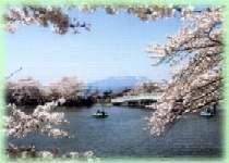 信州の桜祭りを楽しむ