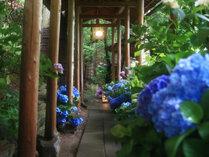 7~8月は、渡り廊下や露天への通路が、紫陽花で彩られます